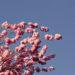 Kirschblüten 2019