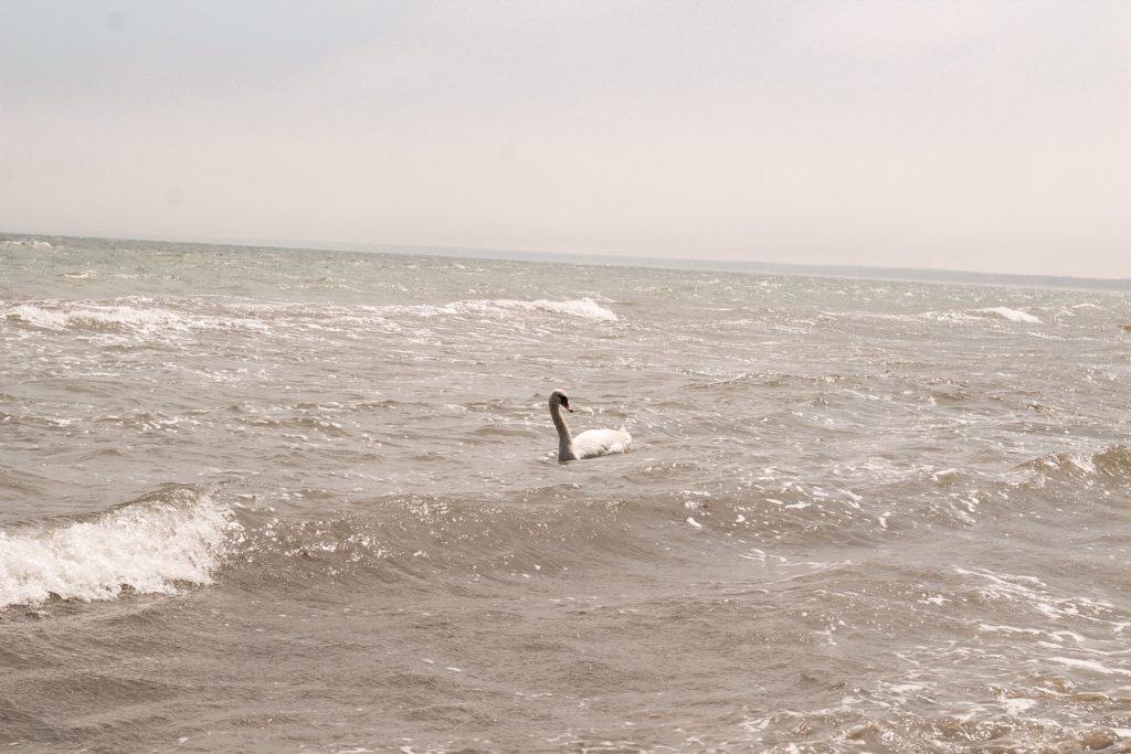 Rügen Wanderung: Schwan im Meer