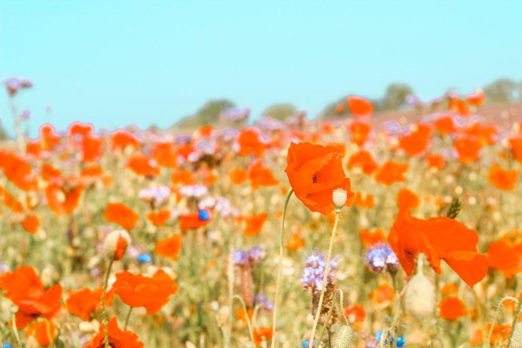 Blumenwiese am Wanderweg auf Rügen